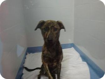 Plott Hound Mix Dog for adoption in Gainesville, Florida - Carrot