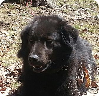Flat-Coated Retriever Mix Dog for adoption in Foster, Rhode Island - Raven