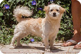 Maltese Mix Dog for adoption in El Cajon, California - LARIN