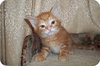 Domestic Shorthair Kitten for adoption in Acme, Pennsylvania - K2