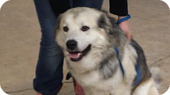 Great Pyrenees/Labrador Retriever Mix Dog for adoption in Bedminster, New Jersey - Joey