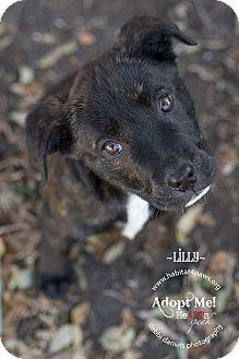 Labrador Retriever/Mastiff Mix Puppy for adoption in McKinney, Texas - Lilly