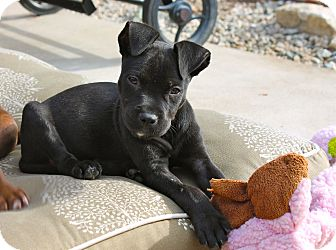 Pit Bull Terrier Mix Puppy for adoption in Los Angeles, California - Juno