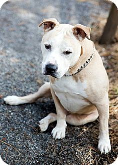 American Staffordshire Terrier Mix Dog for adoption in Tinton Falls, New Jersey - Quinton