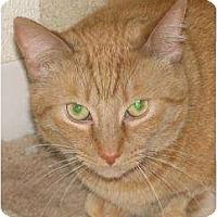 Domestic Mediumhair/Domestic Shorthair Mix Cat for adoption in Woodstock, Illinois - Ben