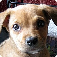 Adopt A Pet :: Baby Buddy - Oakley, CA