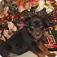 Adopt A Pet :: Roman - Phoenix, AZ