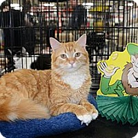 Adopt A Pet :: Lacey - Harrisburg, NC
