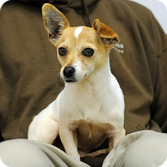 Jack Russell Terrier/Chihuahua Mix Dog for adoption in Hollywood, California - Xena