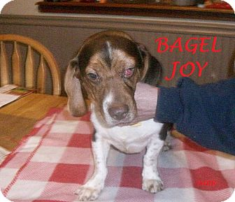 Beagle Puppy for adoption in Ventnor City, New Jersey - BAGEL JOY