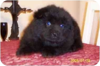 Chow Chow Mix Puppy for adoption in Rockwall, Texas - SHANE