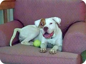 American Bulldog/Boxer Mix Dog for adoption in knoxville, Tennessee - IVY