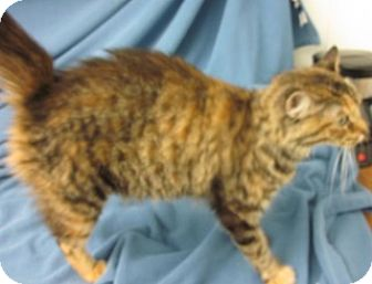 Domestic Mediumhair Cat for adoption in Olive Branch, Mississippi - Jasmine