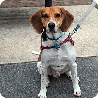 Beagle/Treeing Walker Coonhound Mix Dog for adoption in Westwood, New Jersey - Bogo