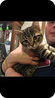 Domestic Mediumhair Kitten for adoption in Powell, Ohio - Sarina