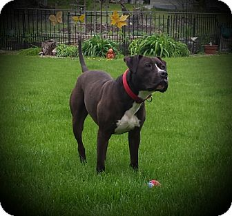 Pit Bull Terrier Mix Dog for adoption in Lisbon, Iowa - Rocky