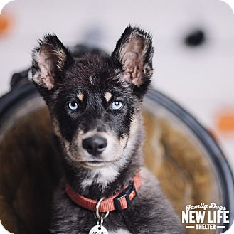 Siberian Husky Mix Puppy for adoption in Portland, Oregon - Maxxi