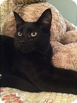 Domestic Shorthair Kitten for adoption in Plainville, Massachusetts - Lucky 100