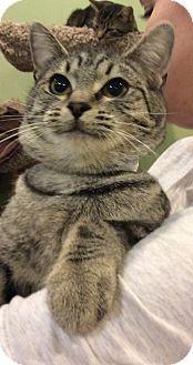 Domestic Shorthair Cat for adoption in Breinigsville, Pennsylvania - Millie