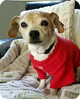 Beagle Mix Dog for adoption in Clayton, California - Freddy
