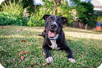 Pit Bull Terrier Mix Dog for adoption in La Habra, California - Max