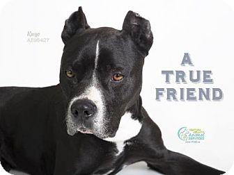 Pit Bull Terrier Dog for adoption in Camarillo, California - KUYO