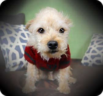 Terrier (Unknown Type, Small)/Poodle (Miniature) Mix Dog for adoption in Los Angeles, California - CHIP (video)