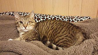 Domestic Shorthair Cat for adoption in Parkton, North Carolina - Handsome