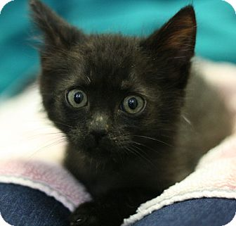 Domestic Shorthair Kitten for adoption in Canoga Park, California - Black Jack