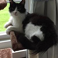 Domestic Longhair Kitten for adoption in Pendleton, New York - Rose