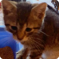 Adopt A Pet :: Jack Sparrow - Berkeley Hts, NJ
