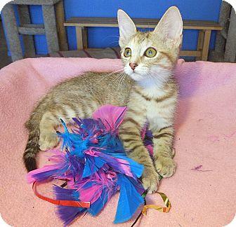 Bengal Kitten for adoption in Glendale, Arizona - Quinn
