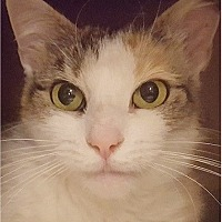 Calico Cat for adoption in Deer Park, New York - Angie