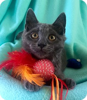 Domestic Mediumhair Kitten for adoption in Bloomsburg, Pennsylvania - Tucker