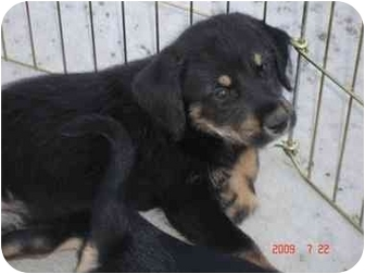 German Shepherd Dog Mix Puppy for adoption in Broomfield, Colorado - ALEX