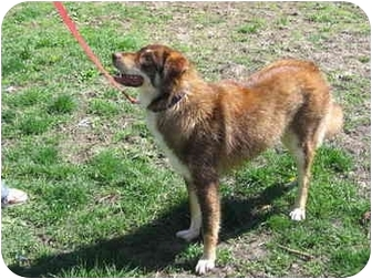 German Shepherd Dog/Alaskan Malamute Mix Dog for adoption in Tuscola, Illinois - Chief