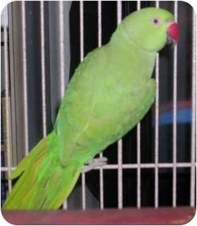 Ringneck for adoption in Punta Gorda, Florida - Dottie