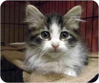 Domestic Longhair Kitten for adoption in Houston, Texas - Berkeley