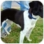 Photo 4 - Labrador Retriever/Pointer Mix Dog for adoption in Pawling, New York - MISS BAILEY