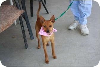 Chihuahua/Miniature Pinscher Mix Puppy for adoption in California City, California - Sassy