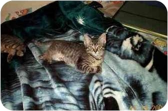 Domestic Shorthair Kitten for adoption in San Diego/North County, California - Nessie
