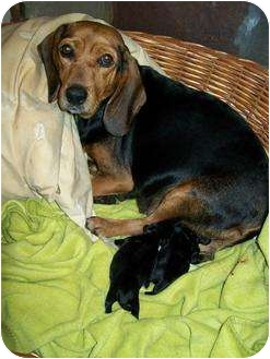 Beagle Mix Dog for adoption in Lafayette, New Jersey - Molly
