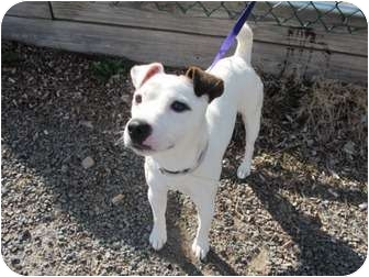 Jack Russell Terrier Dog for adoption in Long Beach, New York - Buster