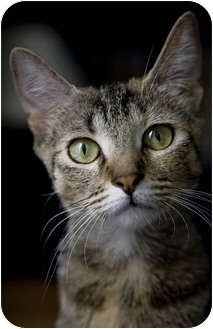 Domestic Shorthair Cat for adoption in Chicago, Illinois - Bunny