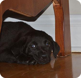 Shepherd (Unknown Type) Mix Puppy for adoption in Sacramento, California - Ajay