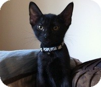 Domestic Shorthair Kitten for adoption in Tampa, Florida - Dale