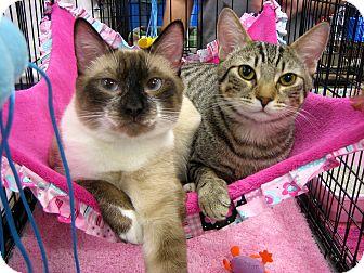 Snowshoe Cat for adoption in Long Beach, California - Thompson