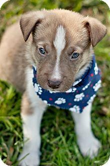 Labrador Retriever/Australian Shepherd Mix Puppy for adoption in Portsmouth, Rhode Island - Spike