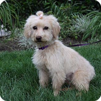 Poodle (Miniature) Mix Dog for adoption in Newport Beach, California - TWINKIE