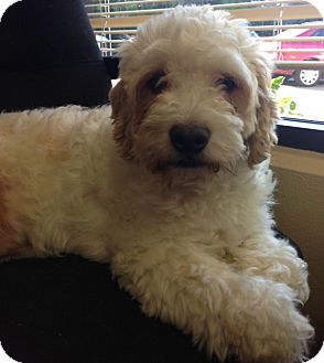 Poodle (Miniature)/Terrier (Unknown Type, Medium) Mix Dog for adoption in Mission Viejo, California - JACKSON